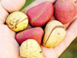 kola nut health benefits